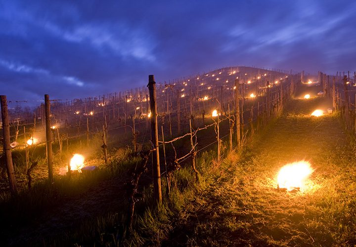 FIRE IN VINEYARD
